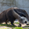 Giant Anteater — Stock Photo #10098824