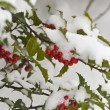 Snow Covered Holly Bush — Stock Photo #10098845