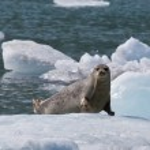 Harbor Seal on Ice Flow — Stock Photo #10098850
