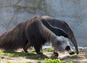 Giant Anteater — Stock Photo
