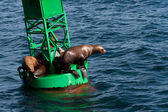 Stellar Sea Lions — Stock Photo