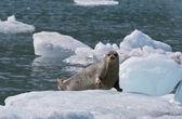 Tuleň obecný na toku ledu — Stock fotografie