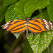 Danalid Butterfly (Lycorea cleobaea) — Stock Photo