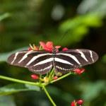 Zebra Longwing Butterfly — Stock Photo
