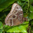 Blue Morpho Butterfly — Stock Photo #10171431