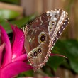blue morpho butterfly — Stock Photo #10171443