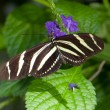 ZebrLongwing Butterfly — Stock Photo #10171444