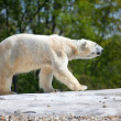 Polar Bear Walking — Stock Photo #10171464