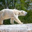 Polar Bear Walking — Stock Photo #10171464