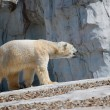 Polar Bear Walking — Foto Stock