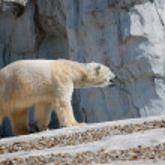 Polar Bear Walking — Stock Photo