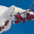 Red Berries with Snow — Stock Photo #10171551