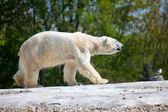 Urso polar caminhando — Foto Stock