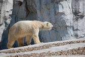 Polar Bear Walking — Stock Photo