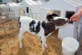 Holstein Calf — Stock Photo