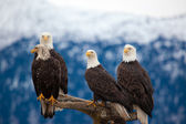 Four Bald Eagles — Stock Photo