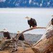 American Bald Eagles — Stockfoto