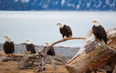 American Bald Eagles — Stock Photo