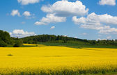 Mustard Field in Bloom Landscape — Stock Photo