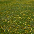 Field of Dandelions — Stock Photo #9374786