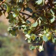 Oak young outbreaks or quercus ilex — Stock Photo