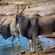 Two eland drinking in a waterhole at etosha national park namibia africa - Zdjęcie stockowe