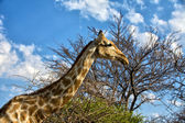 A giraffe in front of a tree in etosha national park namibia — Stock Photo