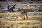 Lioness in etosha national park namibia africa — Stock Photo
