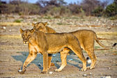 Two lioness in etosha national park namibia — Stock Photo