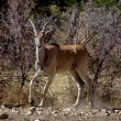 Stock Photo: Eland at daviljoen game park namibiafrica