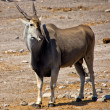 A big eland near a waterhole at etosha national park — Stock Photo
