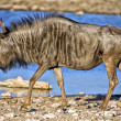 A blue wildebeest in front of a waterhole in etosha national park namibia — Stock Photo