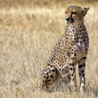 A cheetah in the grass at etosha national park namibia — Stock Photo