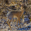 A damara dik-dik in etosha national park namibia - Stock Photo