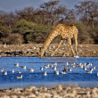 A giraffe drinking water in a waterhole at etosha national park namibia — Stock Photo #8302441