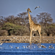 A giraffe near a waterhole at etosha national park namibia — Stock Photo