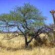 A giraffe near a tree in etosha national park namibia — Stock Photo