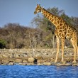 A giraffe standing near a waterhole at etosha national park — Stock Photo