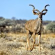 A grand kudu in etosha national park namibia — Stock fotografie