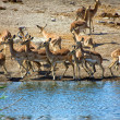 Royalty-Free Stock Photo: A group of blackfaced impala at a waterhole at etosha national park namibia