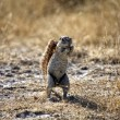 A ground squirrel in etosha national park — Stock fotografie