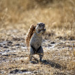 A ground squirrel in etosha national park — Stock Photo