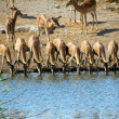 A group of blackfaced impala drinking in a waterhole at etosha national par - Stock Photo