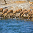 Royalty-Free Stock Photo: A group of blackfaced impala drinking water at etosha national park