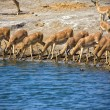 A group of blackfaced impala drinking water at etosha national park - Stock Photo