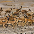 A group of blackfaced impala near a waterhole at etosha national park namib — Stock Photo