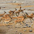A group of blackfaced impala running away at etosha national park namibia a — Stock Photo