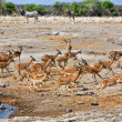 Royalty-Free Stock Photo: A group of blackfaced impala running away from a waterhole at etosha nation