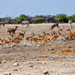 Photo: Group of blackfaced impalrunning away from waterhole at etoshnation