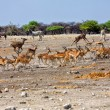 Foto de Stock  : Group of blackfaced impalrunning away from waterhole at etoshnation